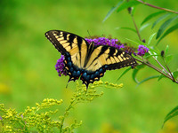 Swallowtail Butterfly critique group nerves