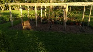 late afternoon sun on vine arbor at Stevens Coolidge Place