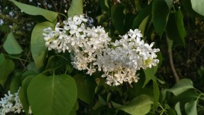 white lilac blossoms at Stevens Coolidge Place
