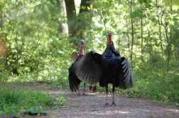 wild turkeys with wings waving warning at Tower Hill Botanic Garden