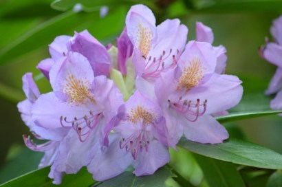 rhododendron-blossom 2