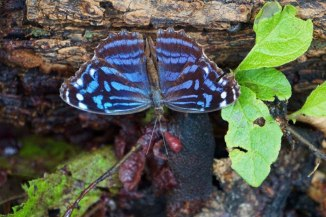 Mexican Bluewing Butterfly with Wings Open