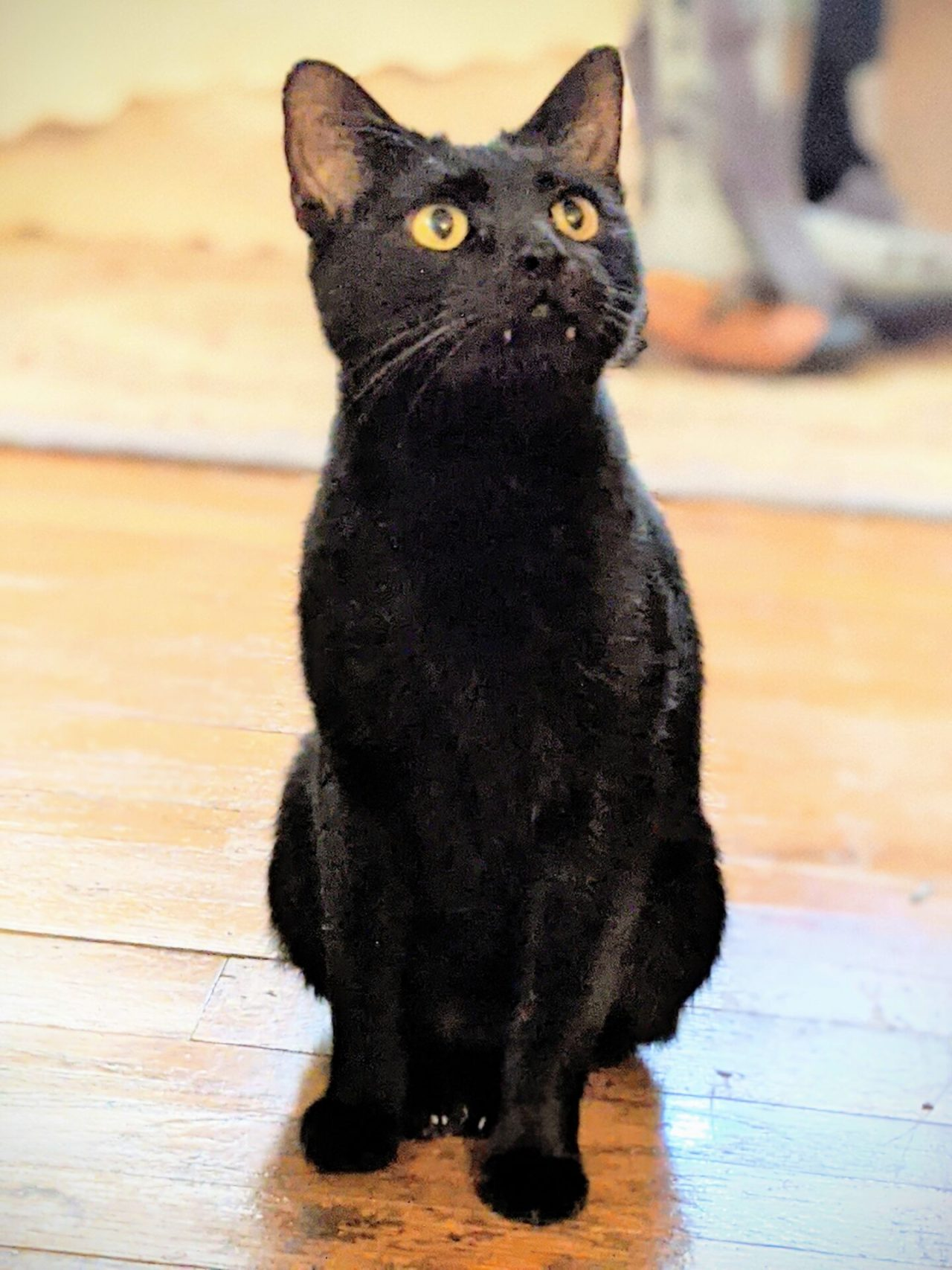 A small, fanged, black cat seated on the floor.