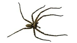 Araignée noire (petite)