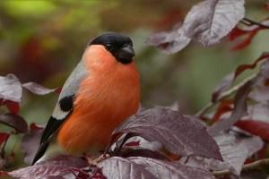 Bouvreuil (oiseau)