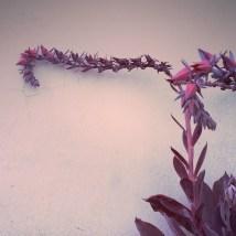 Echeveria Afterglow #2 - 2014