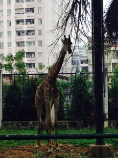 A giraffe.