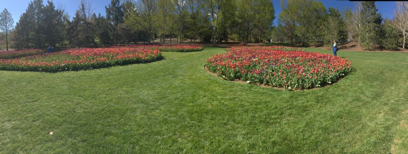 The final field of tulips