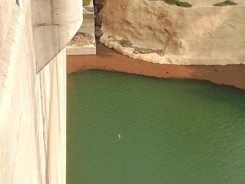 犬鳴ダムの様子。白い鯉が泳いでるのが見える。