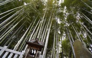 Явата-но Ябуширазу Итикава, Япония, Лес 3