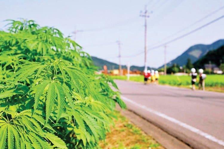 Травка в Японии: история конопли в Стране восходящего солнца