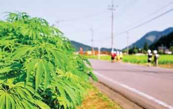 Травка в Японии: история конопли