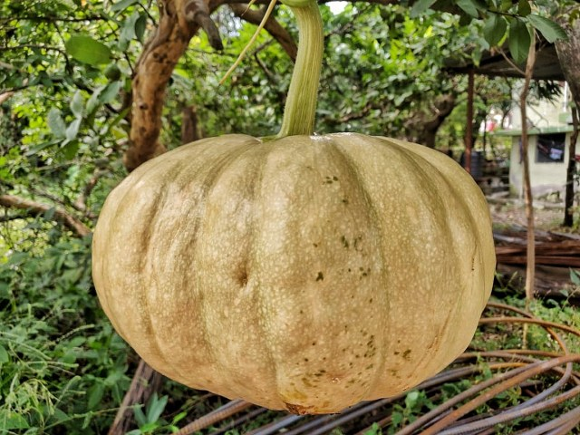 White_Pumpkin