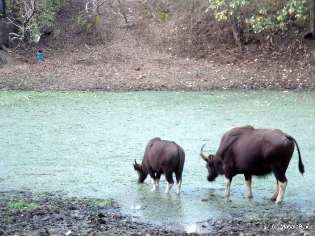 Gaur and Kingfisher top left