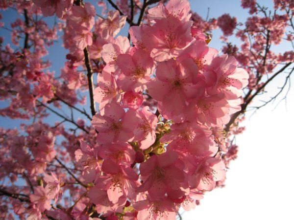 陽に照らされる見頃の河津桜