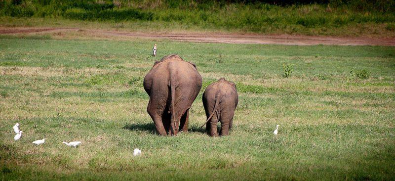 草原に並んでいるお尻を向けた像二頭