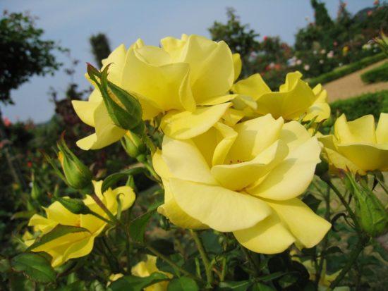 バガテル公園の青空と黄色いバラ
