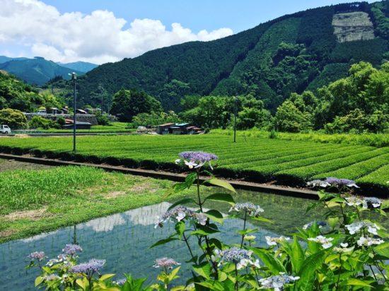 長光寺の山あじさいの奥には茶畑と山と田んぼ