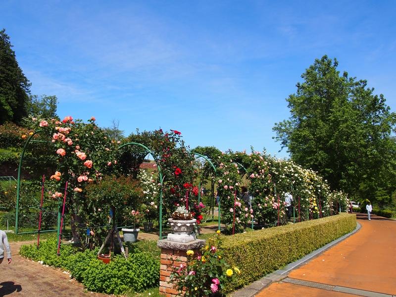 青空とバラがゲート型に植えられている虹の郷のバラ園