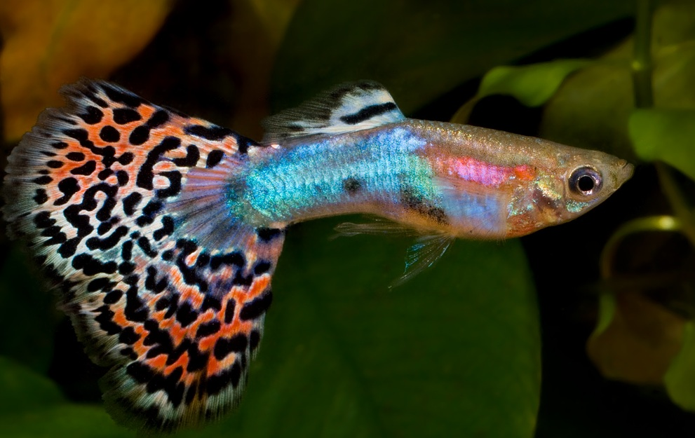 ikan hias air tawar jenis fantail-guppy ekor kipas