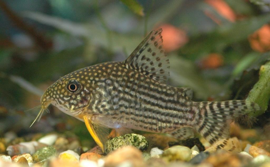 Jenis Ikan Hias Air Tawar Aquarium Rumah Ikan Corydas Lurik