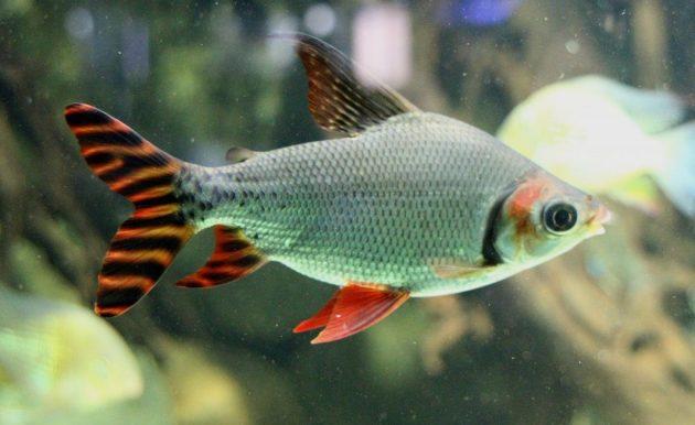 ikan hias air tawar lucu flagtail-characin