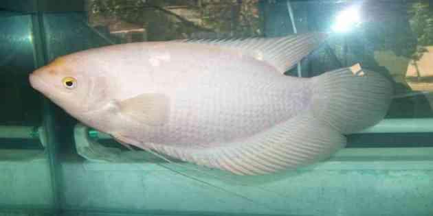Jenis Ikan Hias Air Tawar Aquarium ikan gurame putih