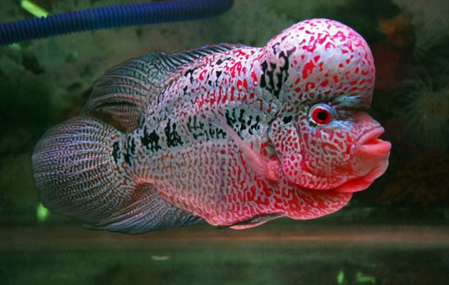 Jenis Ikan Hias Air Tawar Aquarium Louhan Merah Muda