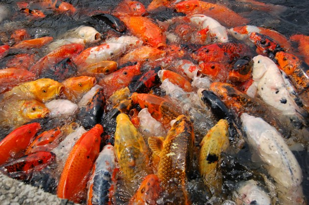 Jenis Ikan Hias Air Tawar Aquarium Ikan Koi Makan