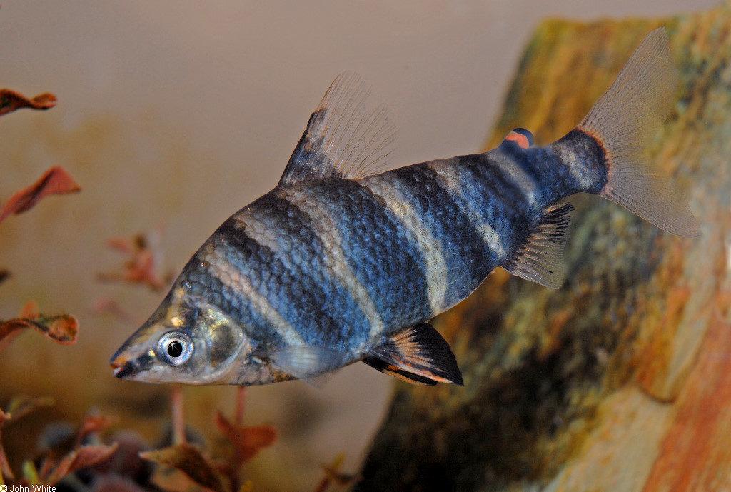 ikan hias air tawar blirik marbled-headstander