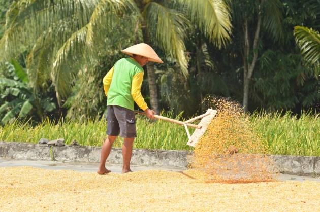 petani mengeringkan hasil panen