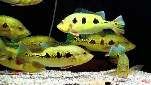 ikan hias air tawar besar mantap peacock-bass