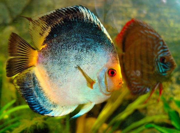 Jenis Ikan Hias Air Tawar Aquarium Disqus Besar