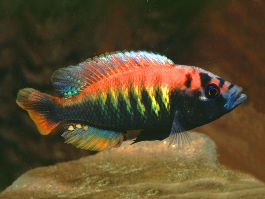 ikan hias air tawar -flameback-cichlid