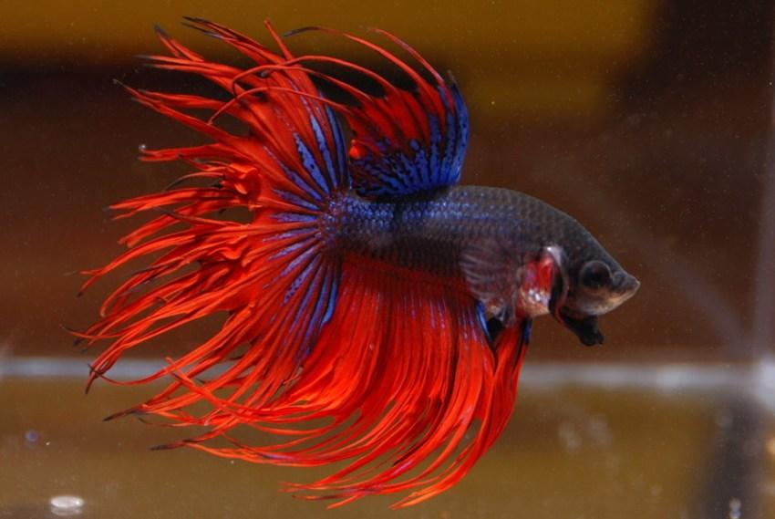 ikan-hias air-tawar-cupang-warna merah