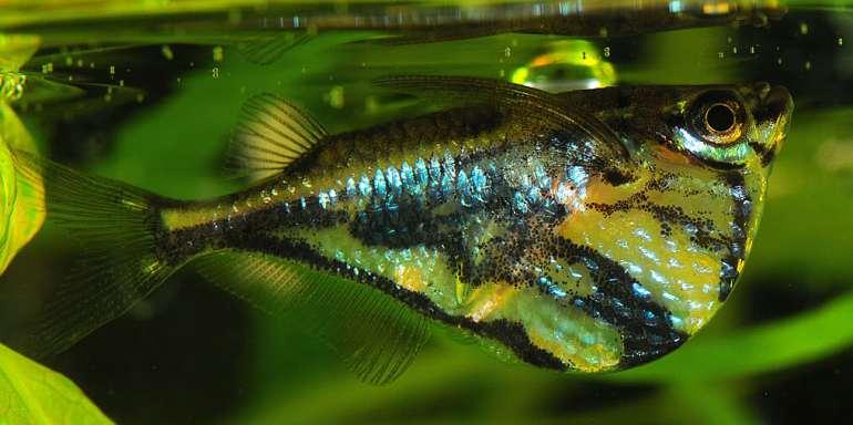 ikan hias air tawar mengkilap marbled-hatchetfish