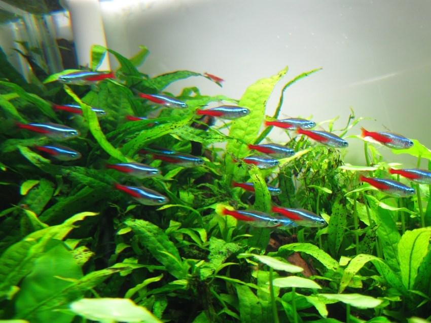 Jenis Ikan Hias Air Tawar Aquarium neon tetra warna biru merah cantik