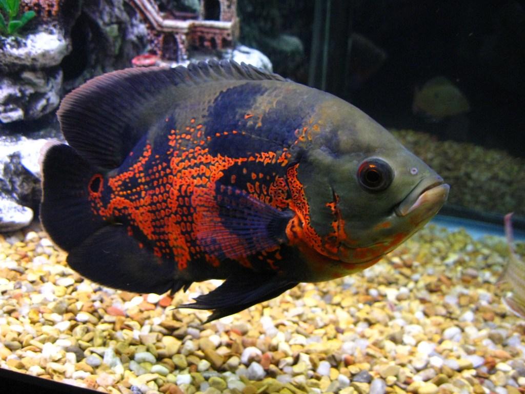 Jenis Ikan Hias Air Tawar Aquarium Oscar Besar