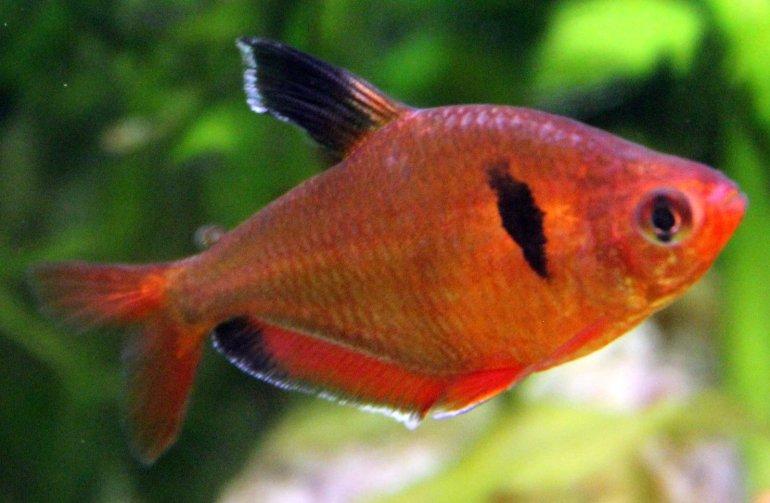 Jenis Ikan Hias Air Tawar Aquarium Ikan red phantom tetra Ganas