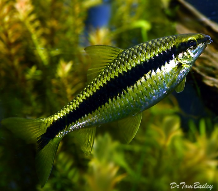 ikan hias air tawar siamese algae cantik
