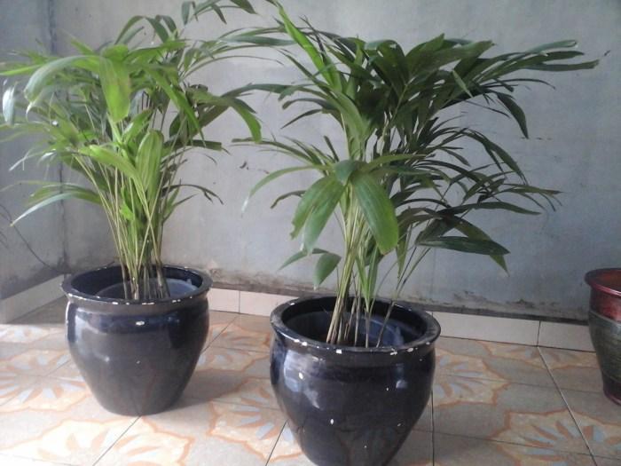 aneka jenis tanaman indoor pengusir nyamuk