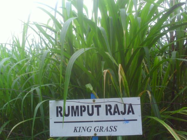 jenis pakan ternak sapi  rumput raja atau king grass