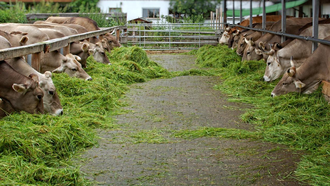 berbagai jenis pakan sapi untuk penggemukan