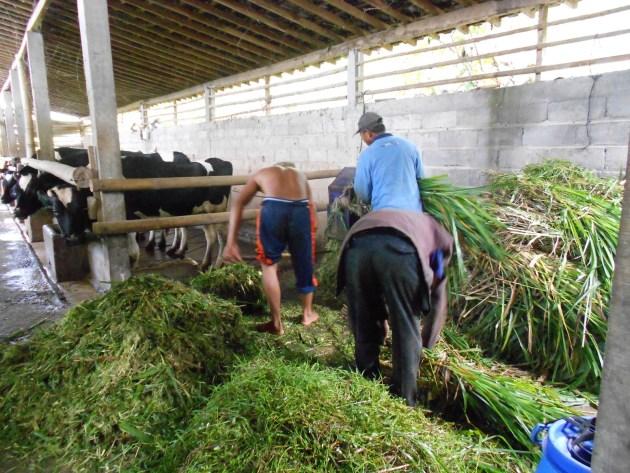 cara pemberian pakan ternak sapi