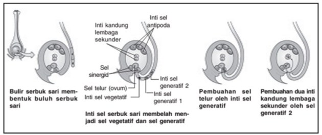 proses terjadinya pembuahan ganda pada angiospermae