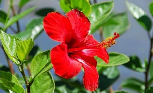 contoh tumbuhan angiospermae dikotil