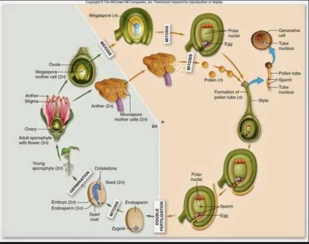 perbedaan gymnospermae dan angiospermae: siklus kebhidupan angiospermae