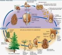 siklus hidup gymnospermae