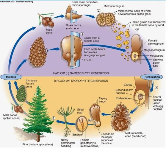 Perbedaan Gymnospermae dan Angiospermae: siklus hidup gymnospermae -masbidin.net
