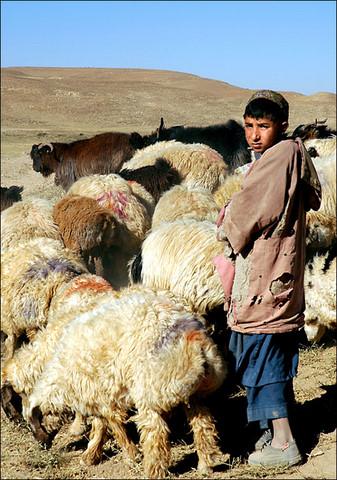 The Hanukkah Shepherd